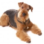 dog Airedale