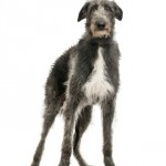 Levriero scozzese (Scottish Deerhound)